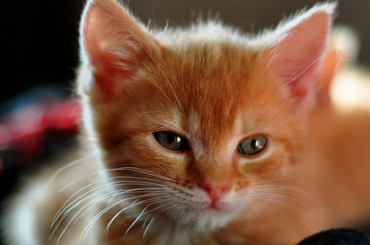 Kitten - CC/Flickr